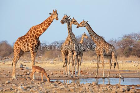 namibia fauna safari manada jirafa grupo