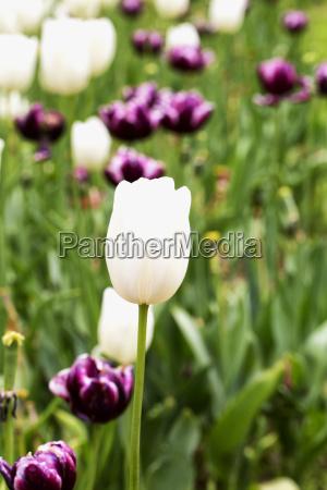 white tulip in a field