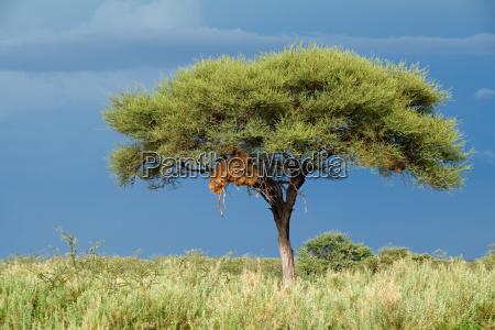 arbol africa namibia africano paisaje naturaleza