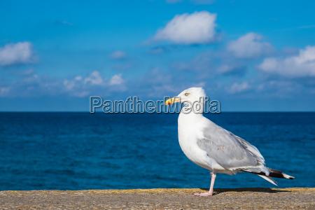 sea gull on the baltic sea