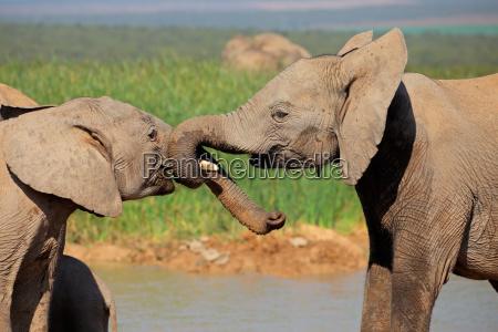 los elefantes africanos juegan a la