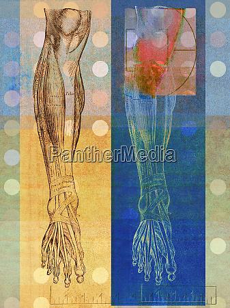 ilustracion anatomica de la pierna humana