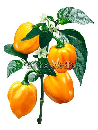 numex suave orange habanero chile caminos