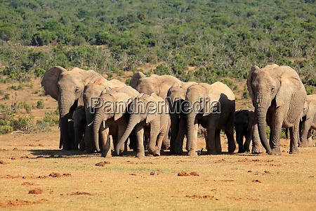 rebanyo de elefantes africanos