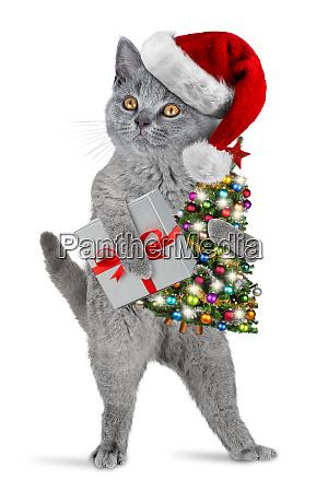 lindo britanico shorthair gatito de pie