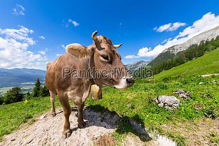 vaca parda en el paisaje de