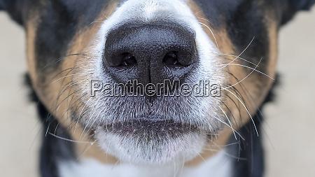 perro de montanya de appenzeller nariz