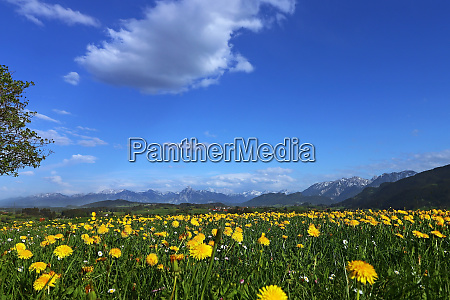 dandelion blossom in spring off the