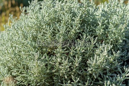 olive, herb, shrub - 26139932