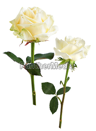 rose collection on white