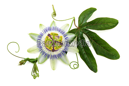 passion flower on white
