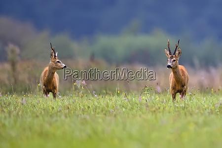 buck, deers, in, a, clearing, - 26183872