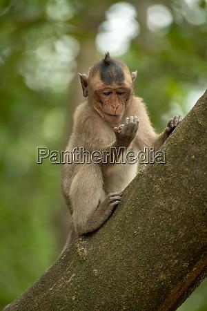 el macaco de cola larga se
