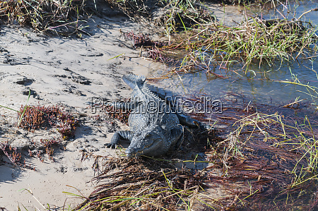 crocodile crocodylia on the banks of