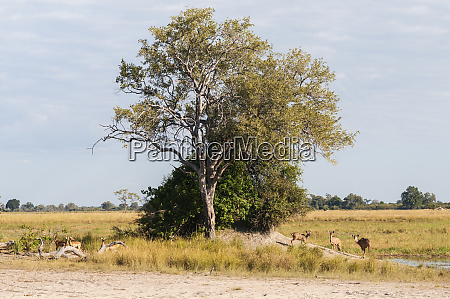 group of kudu antelopes at the