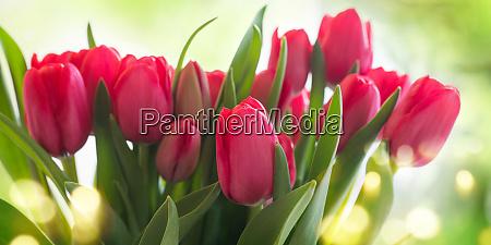 tulips on sunny background