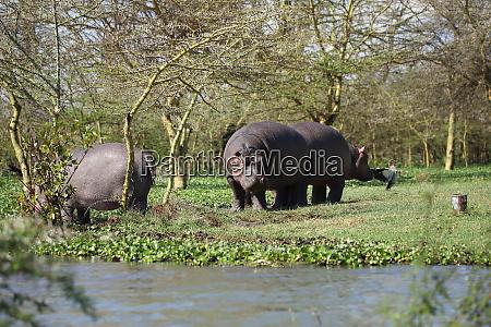 hippos at the shore of lake
