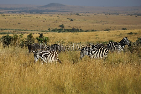 wandering plains zebras in the masai