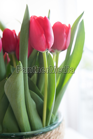 red tulips on bright background