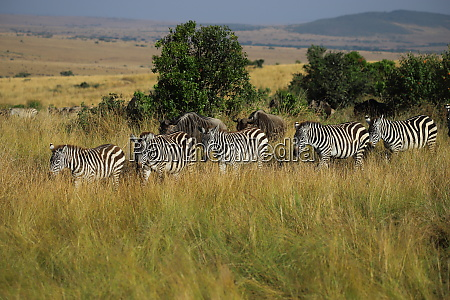 zebras and gnus wander side by