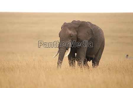 single elephant in the grassland of