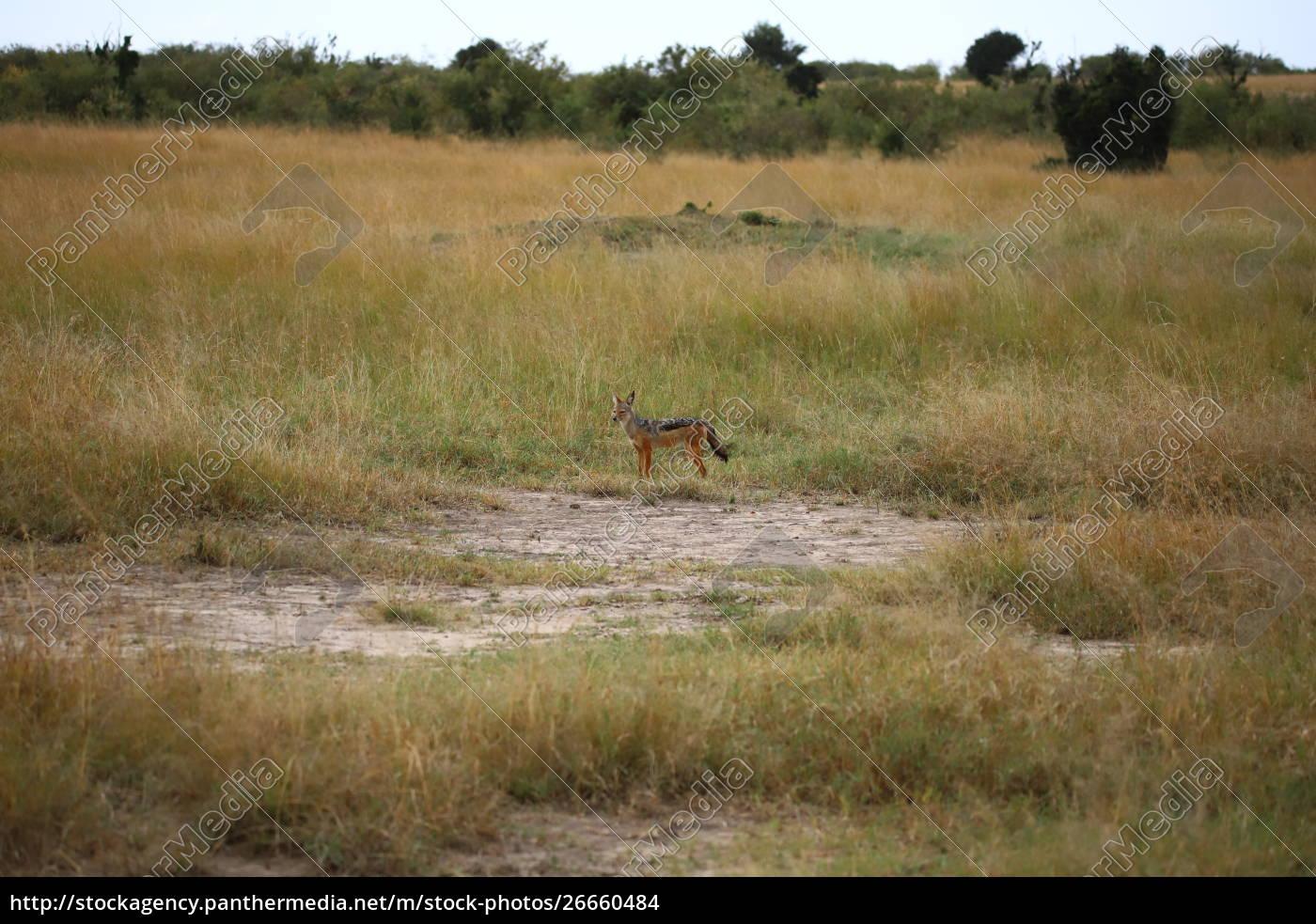 black-backed, jackal, in, the, masai, mara - 26660484