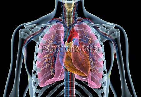 corazon humano con vasos pulmones arbol
