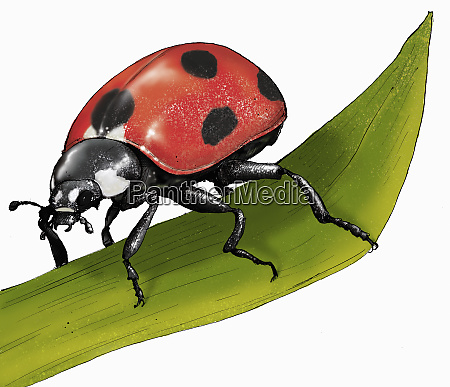 ilustracion de ladybird