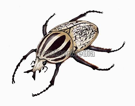 ilustracion del escarabajo goliat