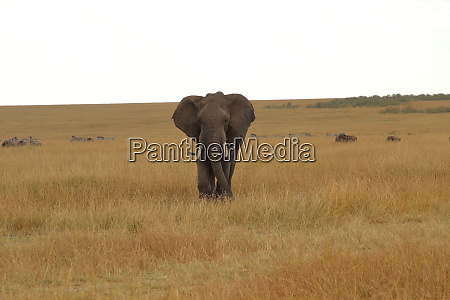 african elephant in a wide plain
