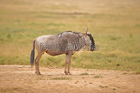 single wildebeest in amboseli national park