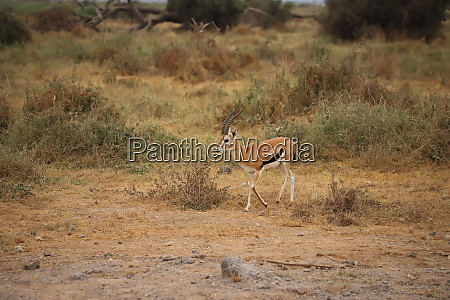 thomsons gazelle in amboseli national park