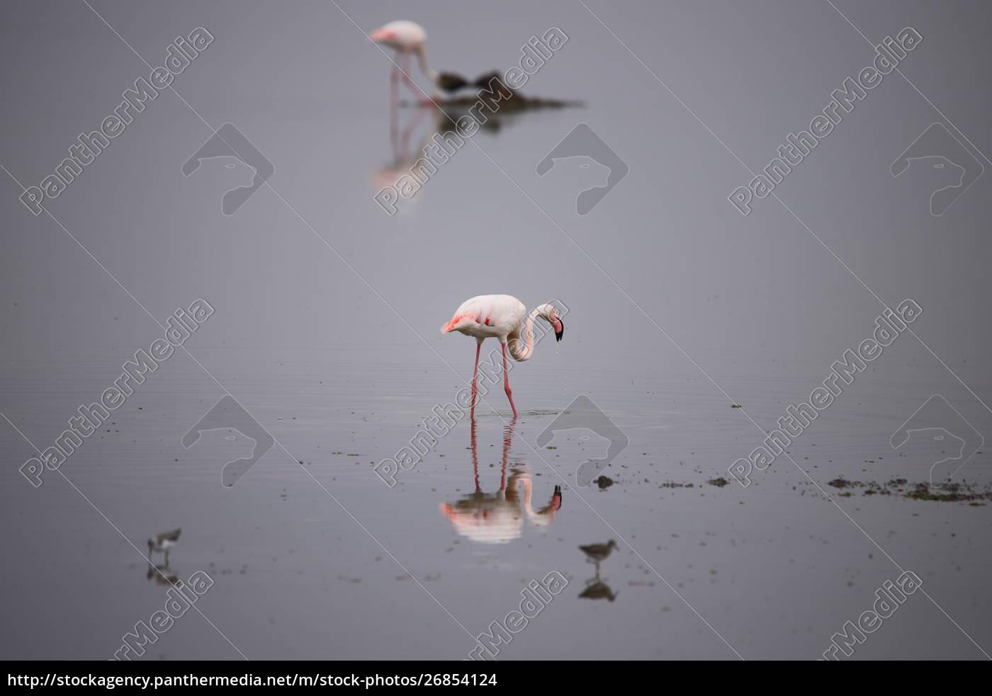 dos, flamencos, y, algunas, otras, aves - 26854124