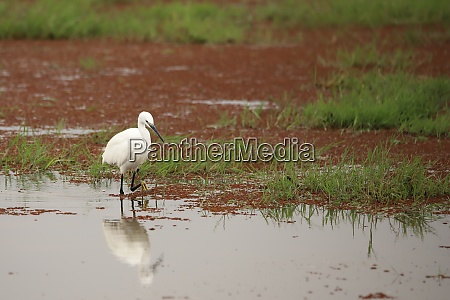 little egret at a water
