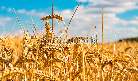 summer landscape with field of corn