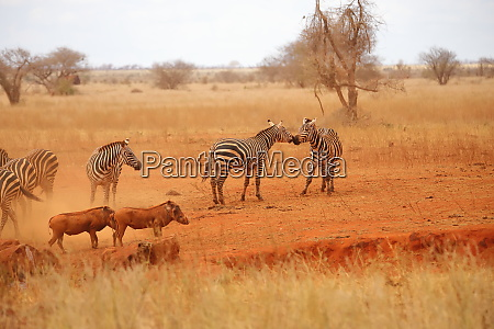 zebras and warthogs in the savannah