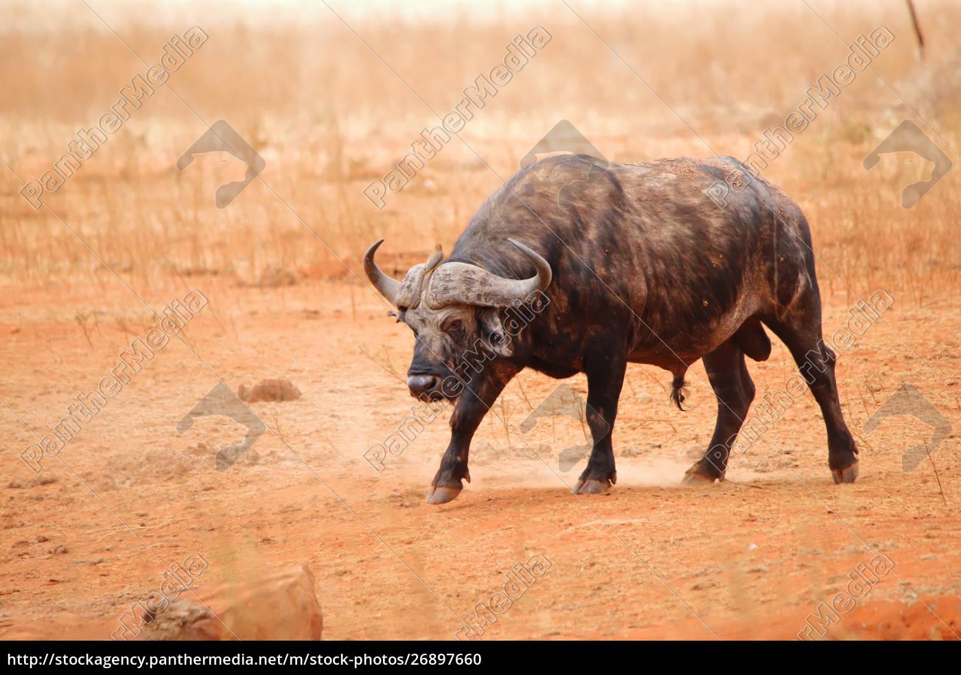 búfalo, de, cabo, en, la, reserva - 26897660