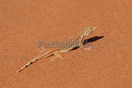 lagarto con hocde de pala en