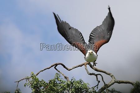african sea eagle in flight