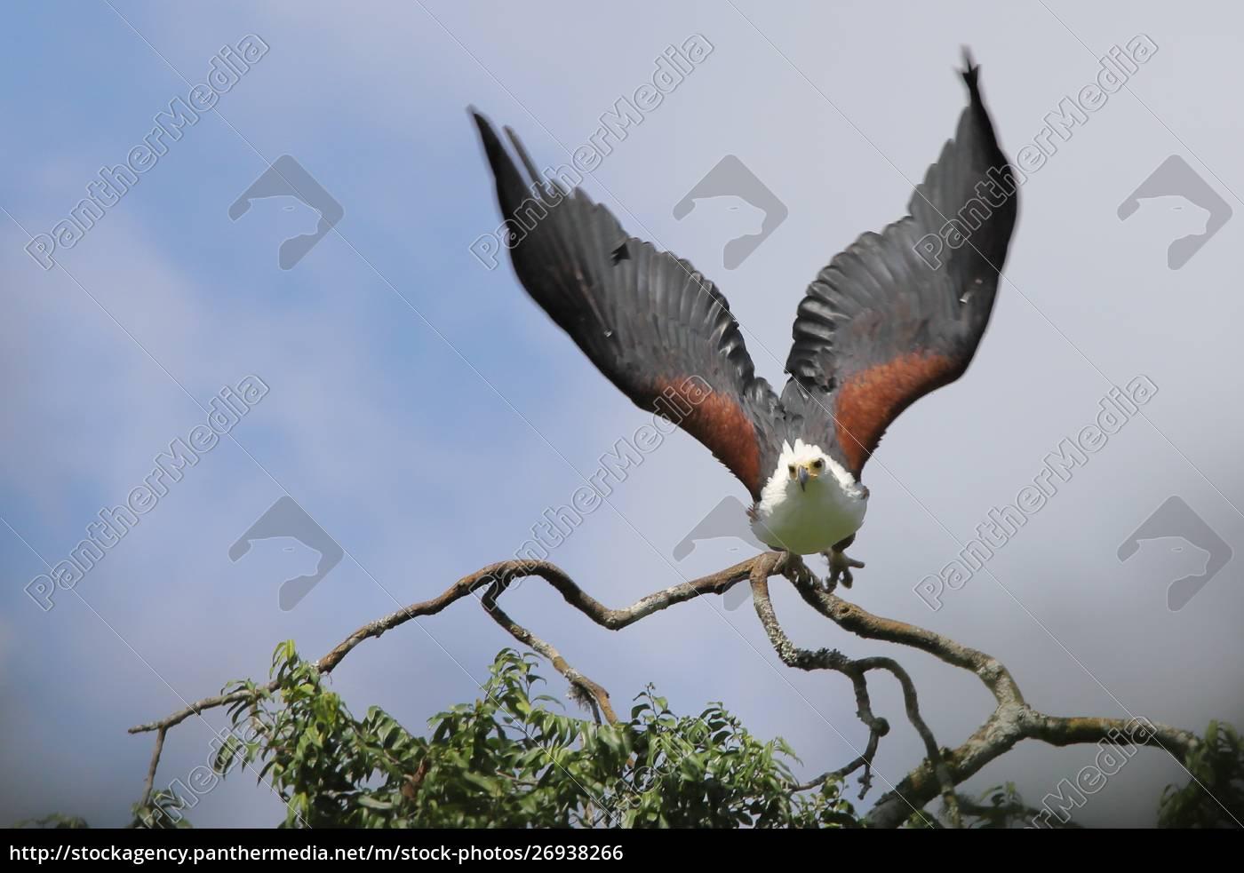 águila, marina, africana, en, vuelo - 26938266