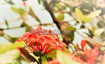 blackberry lily iris domestica also known