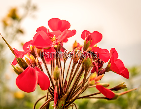 canna lily or canna lily also