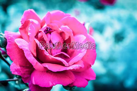a wild rose species in garden