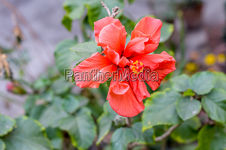 one chaba flower hibiscus rosa sinensis