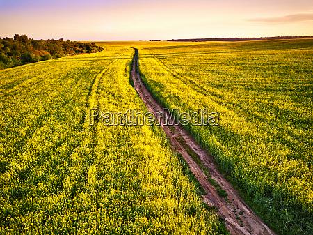 dirt road in canola flowering field