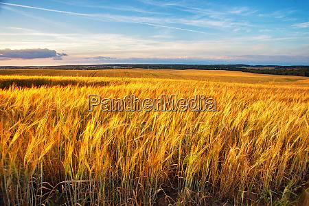 sunset on the crop field belarus
