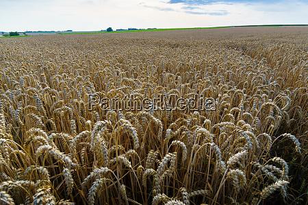 a wheatfield in juli