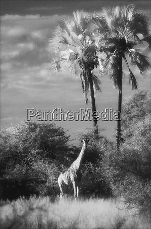 botswana, jirafa, (giraffa, camelopardalis) - 27325241