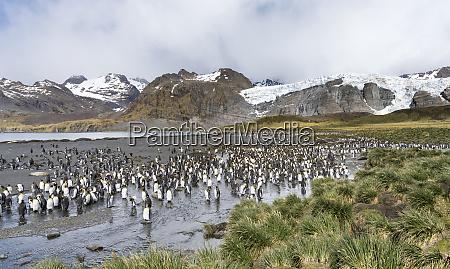 king penguin aptenodytes patagonicus en la