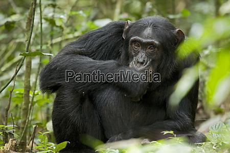 africa, , uganda, , kibale, national, park, , ngogo - 27326031